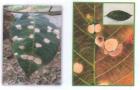 Cảnh báo bệnh rụng lá Pestalotiopsis trên vườn cây cao su