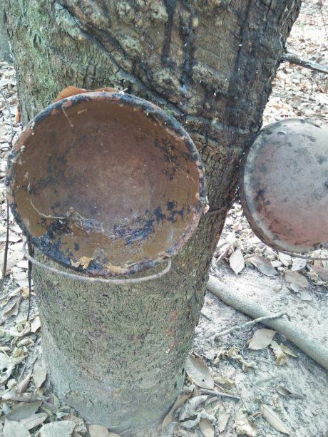 Ông Nguyễn Văn Kỷ, chủ vườn cây cao su tiểu điền tại huyện Tân Châu, tỉnh Tây Ninh chia sẻ về phương pháp cạo mủ bằng khí Enthylene.