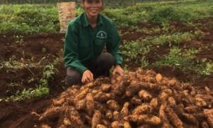 CN Phan Thị Ánh bên vườn cây xen canh NT Trường Sơn, Cao su Quảng Trị.