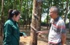 Cao su Việt Lào: Mô hình kiểu mẫu tại nước ngoài của VRG (Kỳ 2)