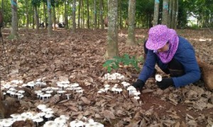 Chị Trang đang cạo mủ cao su tiểu điền ở ấp Liên Đức, xã Xà Bang, huyện Châu Đức, tỉnh Bà Rịa – Vũng Tàu thì gặp ổ nấm mối mọc. Trước đó, ổ nấm mối cũng mọc ở vị trí này vào năm 2018 chị cũng hái được.