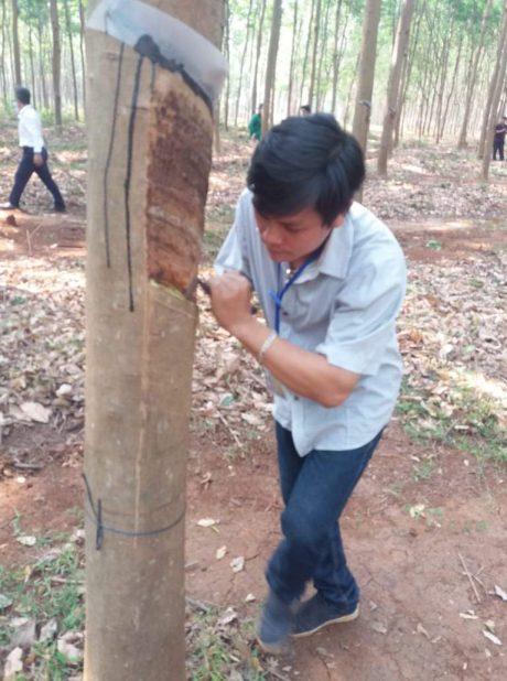 Anh Lê Kim Phú cạo mủ trong buổi lễ ra quân của Nông trường Bachiang I