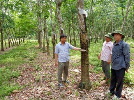 Vườn cây này có mật độ bình quân 400 cây/ha, năng suất mủ đạt từ 1,4 tấn/ha.