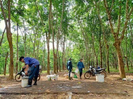Vườn cây cao su đang khai thác của Công ty TNHH MTV Cao su Hà Tĩnh.