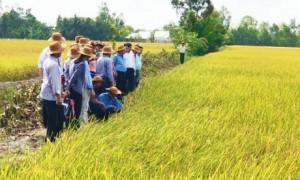 Lãnh đạo sở NN&PTNT tỉnh Sóc Trăng cùng bà con tham quan mô hình lúa hữu cơ ST24 của Tập đoàn Quế Lâm