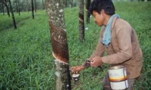 Hội tiểu điền Indonesia thu hoạch cao su.