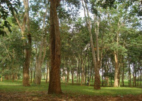 Vườn cây lô 9, NT Dầu Giây trồng từ năm 1906
